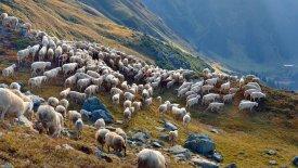 Schafe, © Tirol Werbung / Mallaun Josef