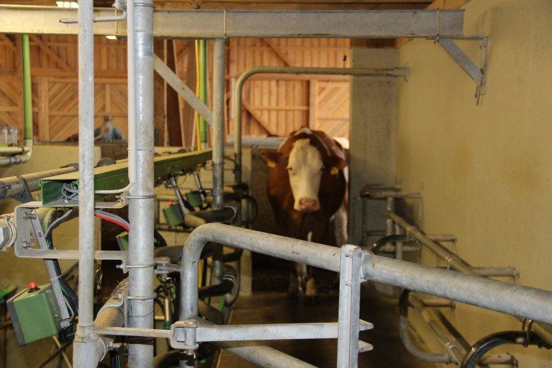 Die Kühe kommen von selbst zur Melkanlage