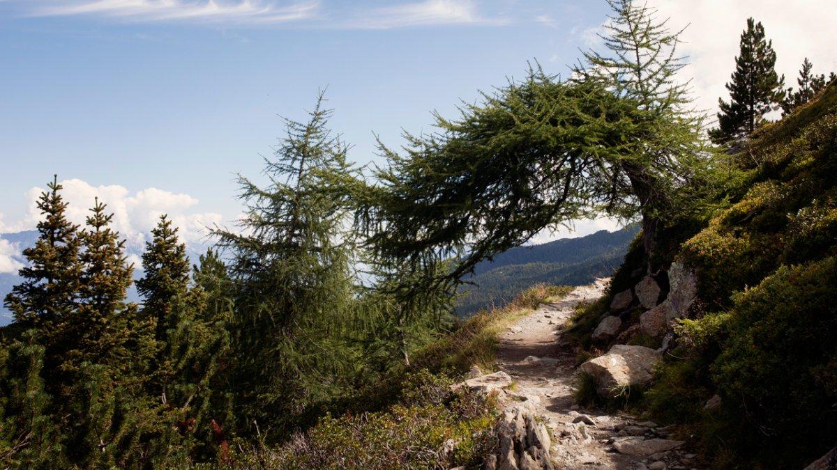 Typisch tirolerisch: die Zirbe, © Tirol Werbung/Verena Kathrein