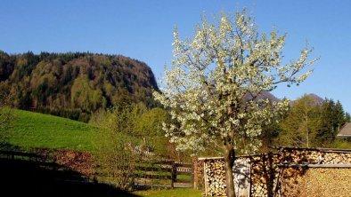 Kirschbaumblüte in unserem Garten