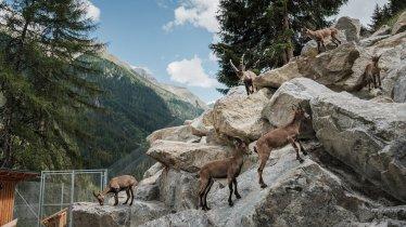 Tiroler Steinbockzentrum im Pitztal, © Tiroler Steinbockzentrum