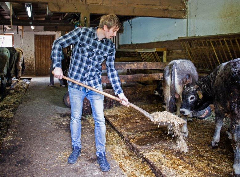 Die Kühe füttern am Bauernhof.