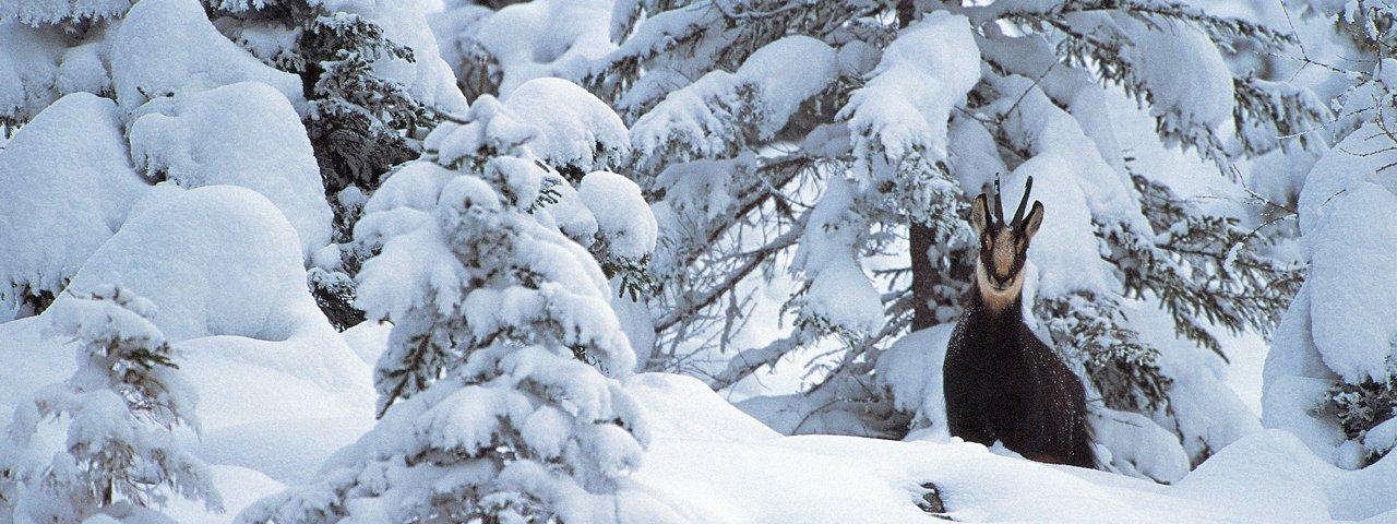 Gämse im Naturpark Karwendel, © Naturpark Karwendel