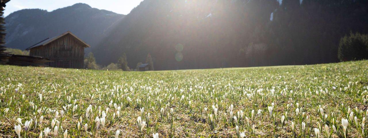 Krokusblüte in der Leutasch., © Tirol Werbung/Mario Webhofer