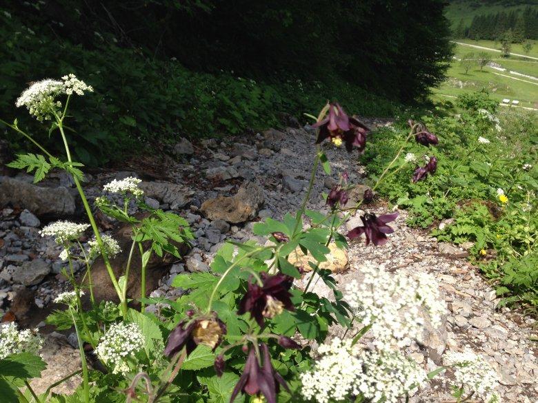 Schwarz violette Akelei