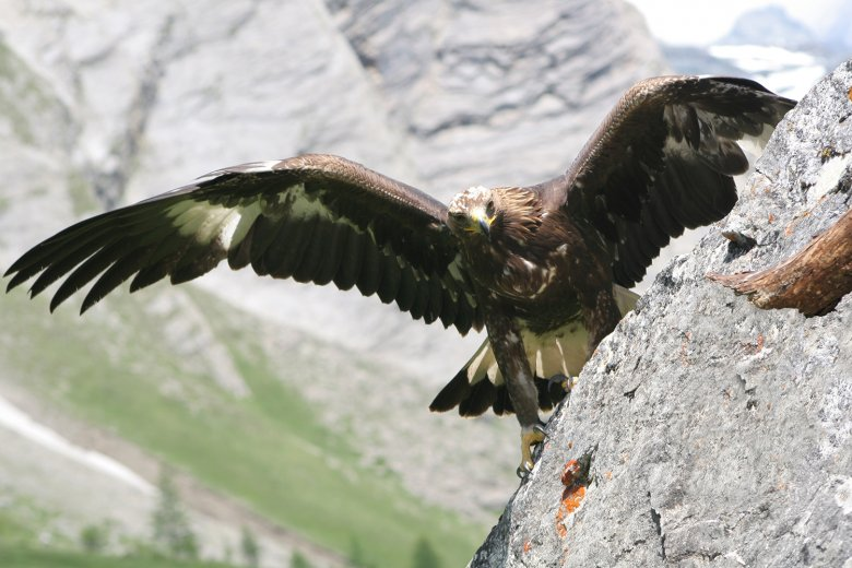 Steinadler in Osttirol. , © Gunther Gressmann