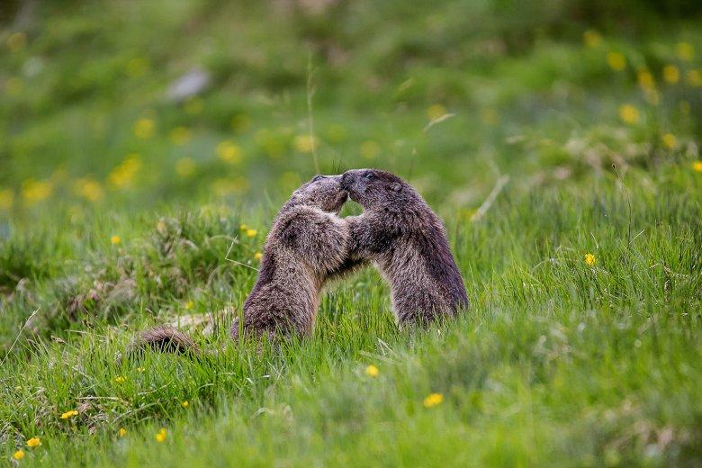 Das Alpen-Murmeltier ist allgegenwärtig im Nationalpark. , © Hannah Assil