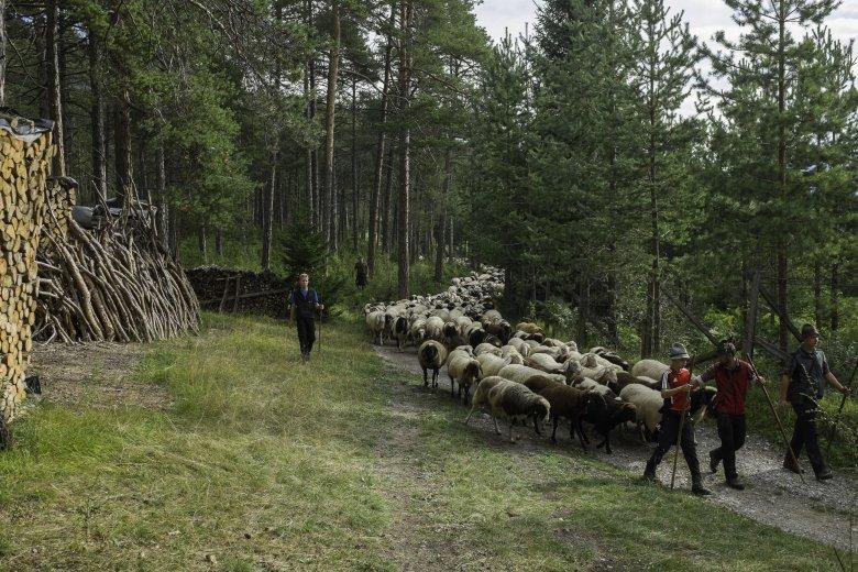 Rund 1.000 Lämmer und Schafe kehren jährlich am zweiten Sonntag im September von der Hinterberg-Alm nach Tarrenz heim.