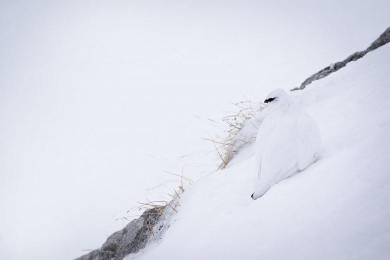 Findet ihr das Alpenschneehuhn im Bild? Durch sein weißes Federkleid verschmilzt es nahezu mit dem Schnee am Hafelekar oberhalb Innsbrucks.