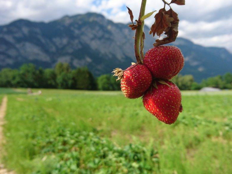 Erdbeerlaender und Erdbeerfelder zum Selberpfluecken in Tirol (c) Tirol Werbung – Julia Koenig