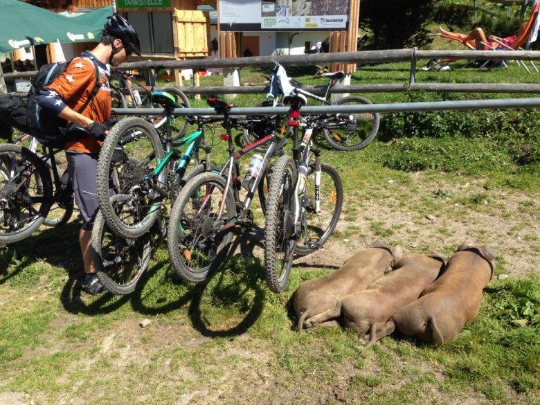 """Biker und Schweine teilen sich den """"Parkplatz"""" vor der Weidener Hütte"""
