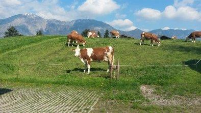 Kühe auf der Weide 2