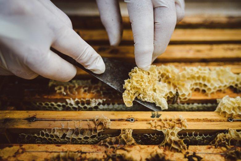 Hier wird vorsichtig der sogenannte Wachsüberbau entfernt, um die Waben ohne Beschädigung des Bienen volkes entnehmen zu können.