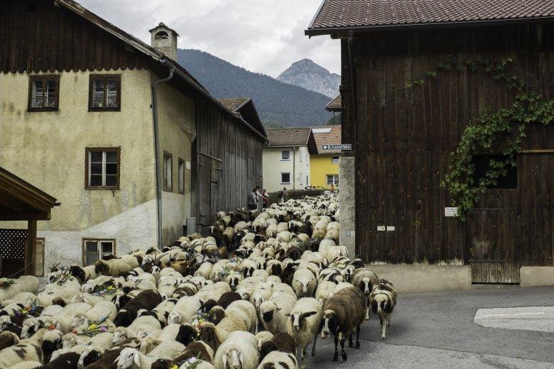 Wie ein übermütiger, wellenschlagender Bergbach strömen die Schafe und Lämmer um die Mittagszeit durch die schmale Trujegasse.