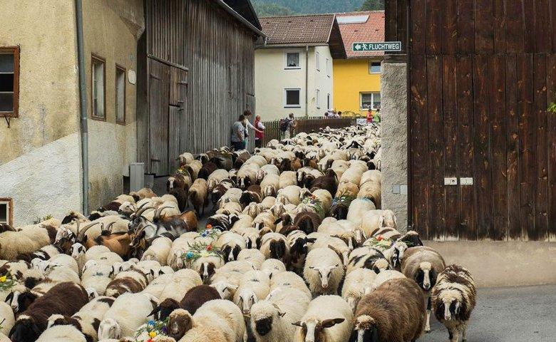 Schafschoad-Tarrenz-(2)