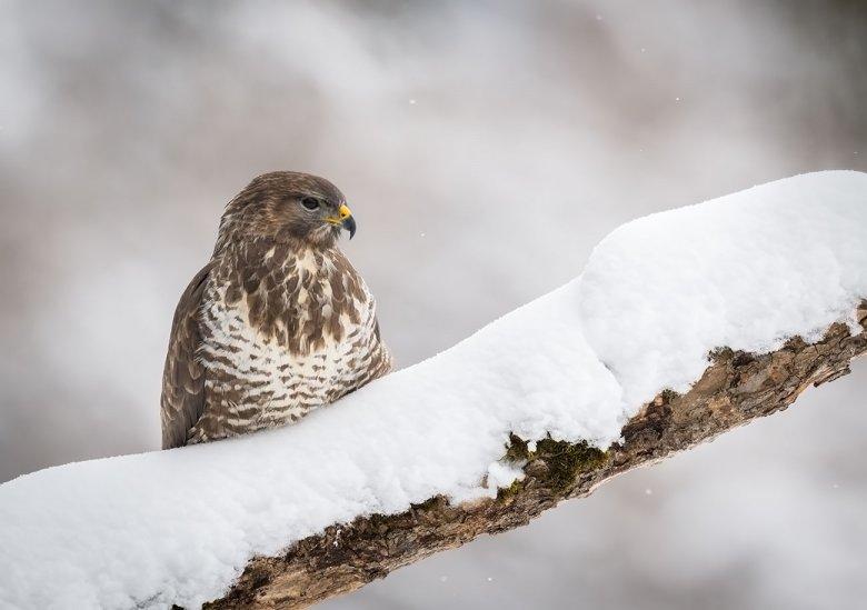 Greifvögel wie dieser Mäusebussard im Stubaital sind im Winter sehr oft neben Autobahnen und Haupstraßen zu sehen.