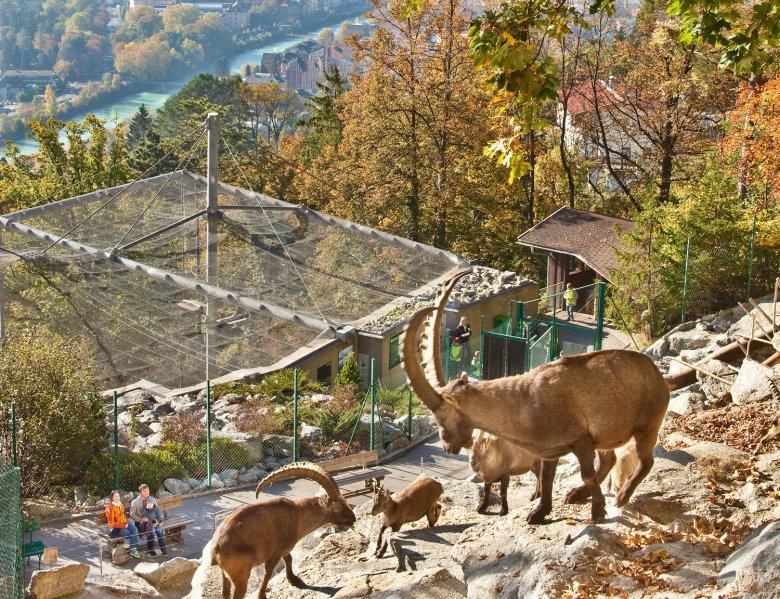 Steinböcke im Alpenzoo. , © TVB Innsbruck, Christof Lackner