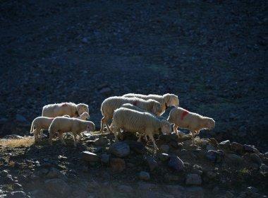 Schafe sind soziale und sensible Tiere. Stirbt ein Herdenmitglied, trauert der Rest. Mööööh!
