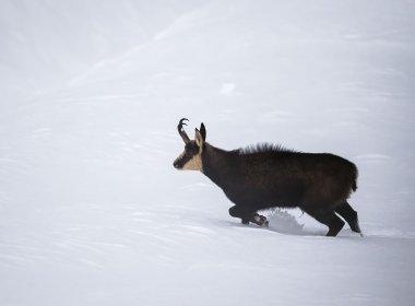 Am Weg ins Tal: Gämsen wie diese hier in Mieming übersiedeln im Winter vom Hochgebirge in tiefere Lagen.