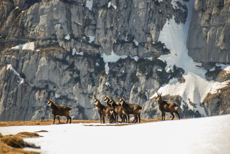 Gämsen im Rofangebirge. , © Tirol Werbung / Jannis Braun
