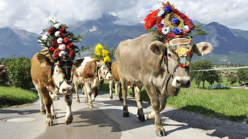 Die Kühe tragen den prächtigen Almabtriebs-Kopfschmuck mit Würde, © Grießenböck