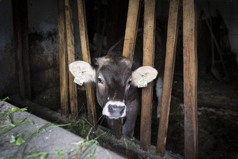 Kuh im Stall des Gintherhofs