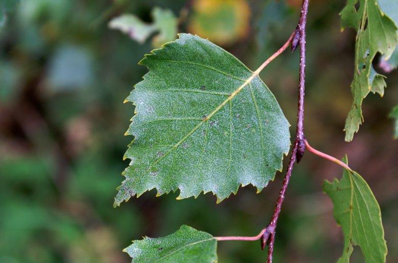 Ein Tee aus frischen Birkenblätter entwässert den Körper. Foto: Georg Gapp