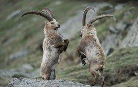 Steinböcke im Nationalpark Hohe Tauern. , © Solvin Zankl
