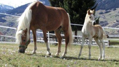 Unsere Haflinger-Pferde