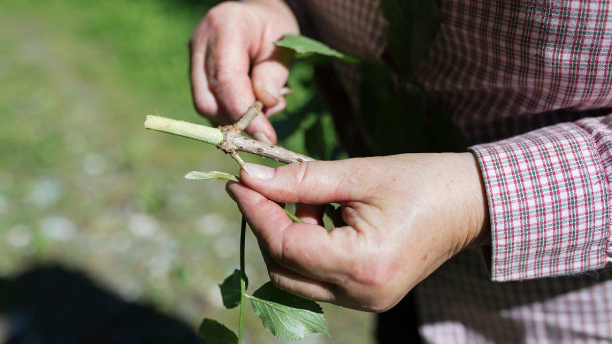 Kräuterfachfrau Elisabeth Maaß teilt gern ihr Wissen über die Welt der Pflanzen., © Tirol Werbung/Lisa Hörterer