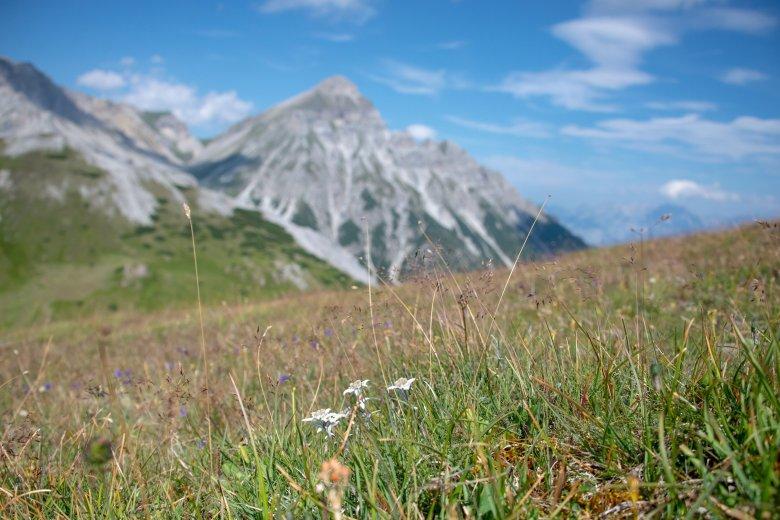 Edelweiß im Gschnitztal., © Tirol Werbung, Fuchs Angela