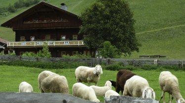 Osttiroler Berglamm, © Tirol Werbung/Bernhard Aichner