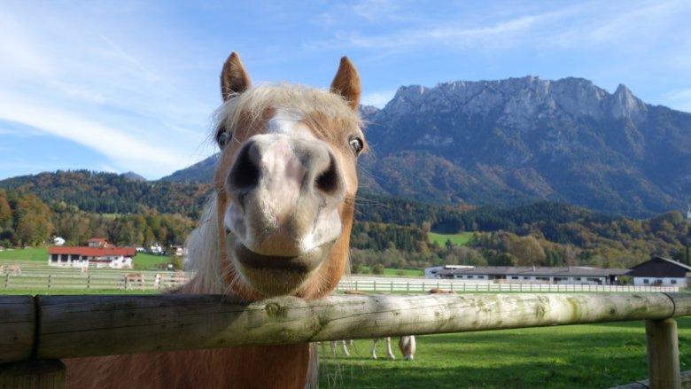 Hier fühlen sich die Haflinger Pferde wohl: Ebbs in Tirol (Foto: Fohlenhof Ebbs / Christian Kapfinger)