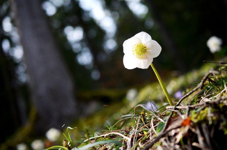 Im März zieht die Schneerose zahlreiche Wanderer in die Wälder und auf die bereits oder immer noch bewirteten Almhütten Tirols. Foto: ofp.kommunikation